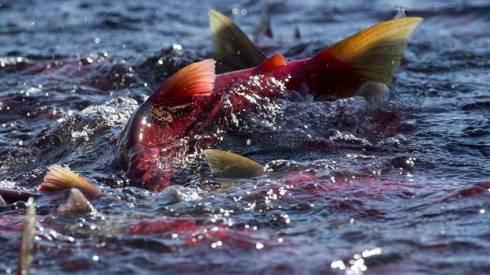 web-nw-BC-salmon-1130