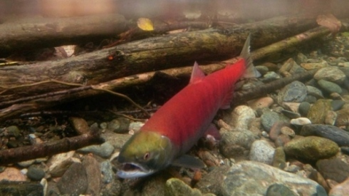 Pacific salmon numbers are expected to decline over the next three years due to unusual ocean temperatures. Photo by Johathan Hayward/Canadian Press